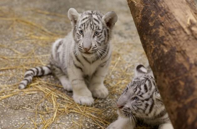 До свиданья, мой ласковый тигра! Екатеринбургский бенгальский тигренок переезжает в Уфу