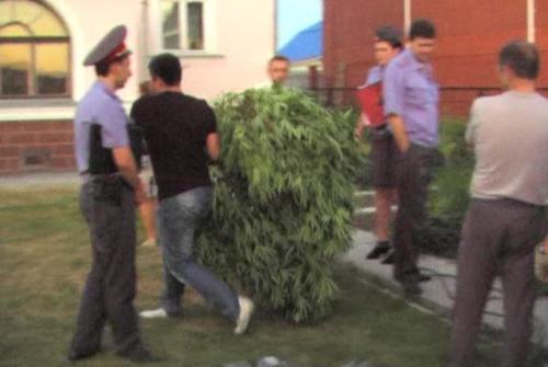 Нижнетагильская полиция ликвидировала теплицу с коноплей