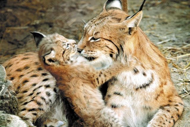 Самой прекрасной обитательницей зоопарка стала рысь Букаша