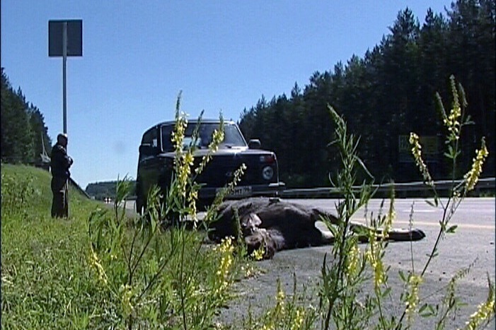 На границе Европы — Азии лосиха погибла под колесами автомобиля