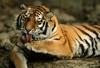 Амурского тигра Устина обвиняют в нападении на китайских коз