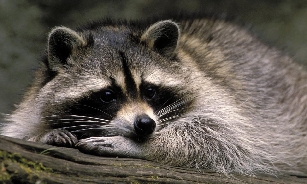 Ложная весна: в екатеринбургском зоопарке проснулись еноты