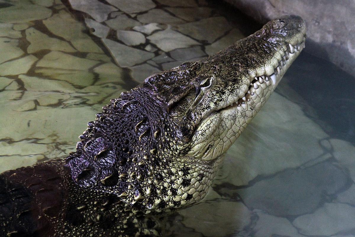 Зубная боль довела до судорог домашнего крокодильчика в Москве