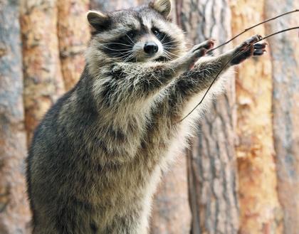 Вышли из зимней спячки: в зоопарке Екатеринбурга проснулись мишки, барсуки и енотики
