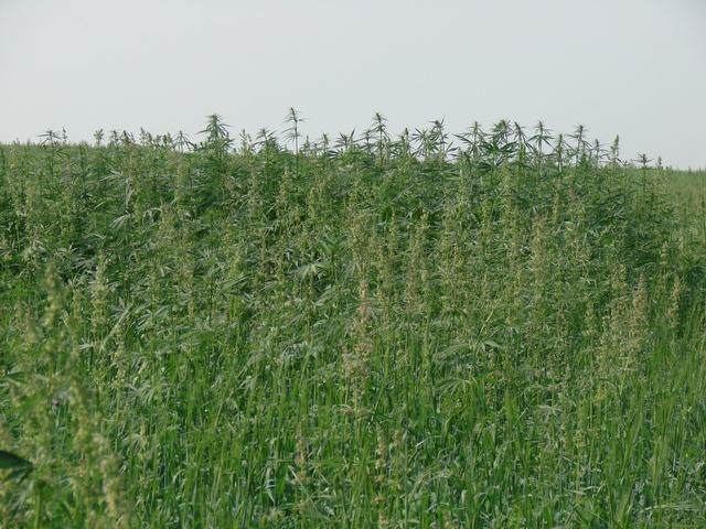 На Рефтинской птицефабрике обнаружили поле конопли