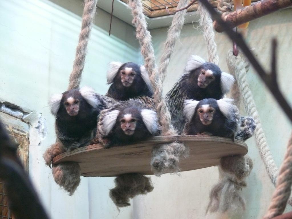 Посетители зоопарка сделают качели для приматов