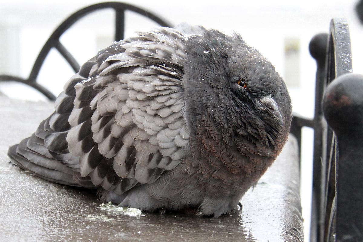 В Екатеринбурге массово гибнут голуби