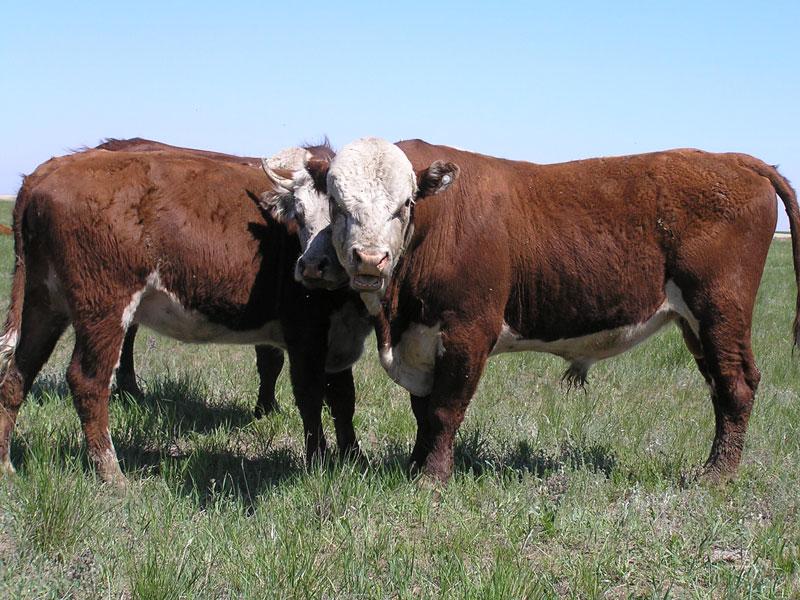 Программа по передаче племенных быков в общественное стадо для породного преобразования