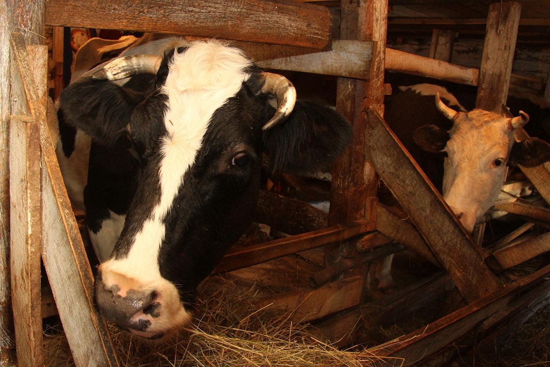 В Екатеринбург прилетели 272 коровы
