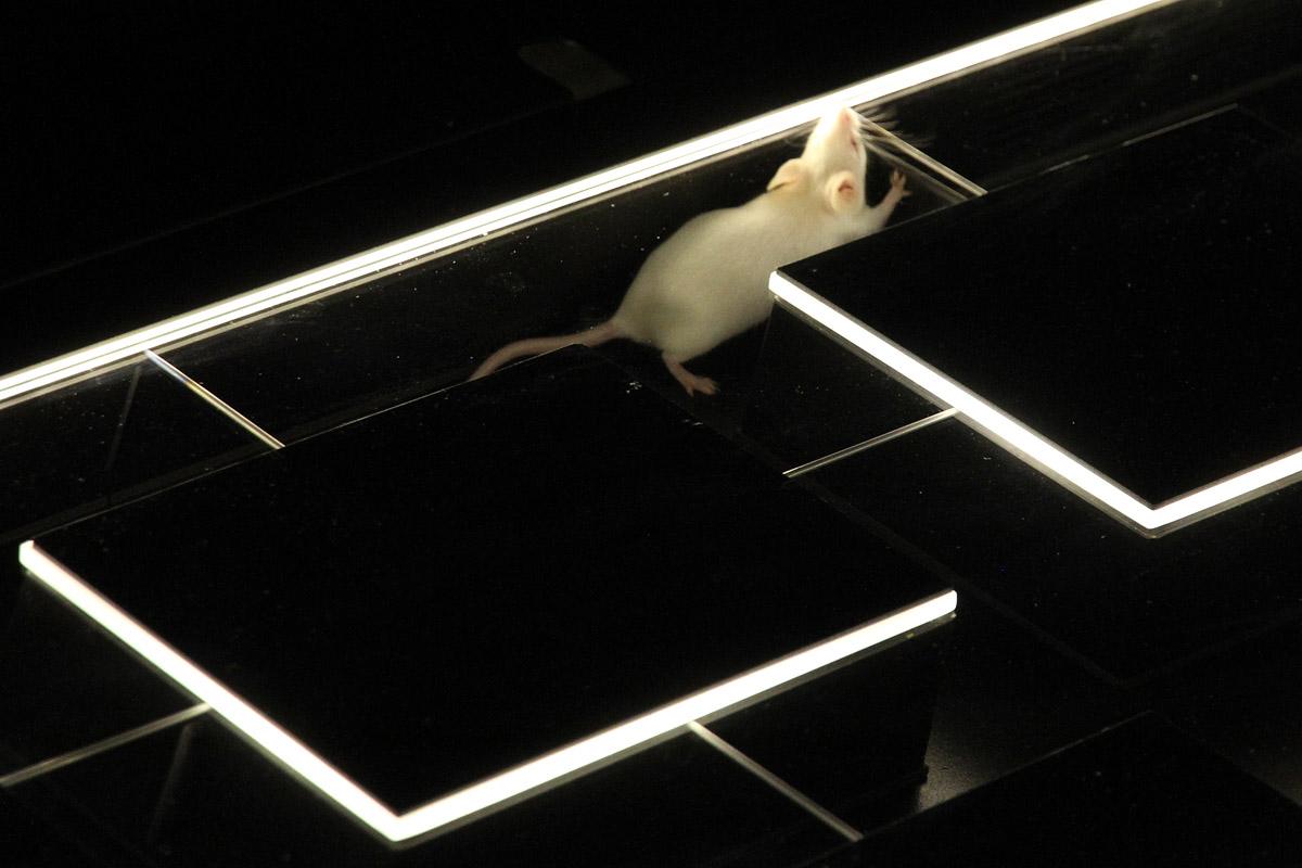 «Куда бегут собаки» запустили лабораторных мышей в лабиринт компьютерной программы