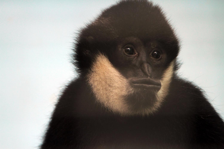 Цирковой гиббон Бобо переехал жить в екатеринбургский зоопарк