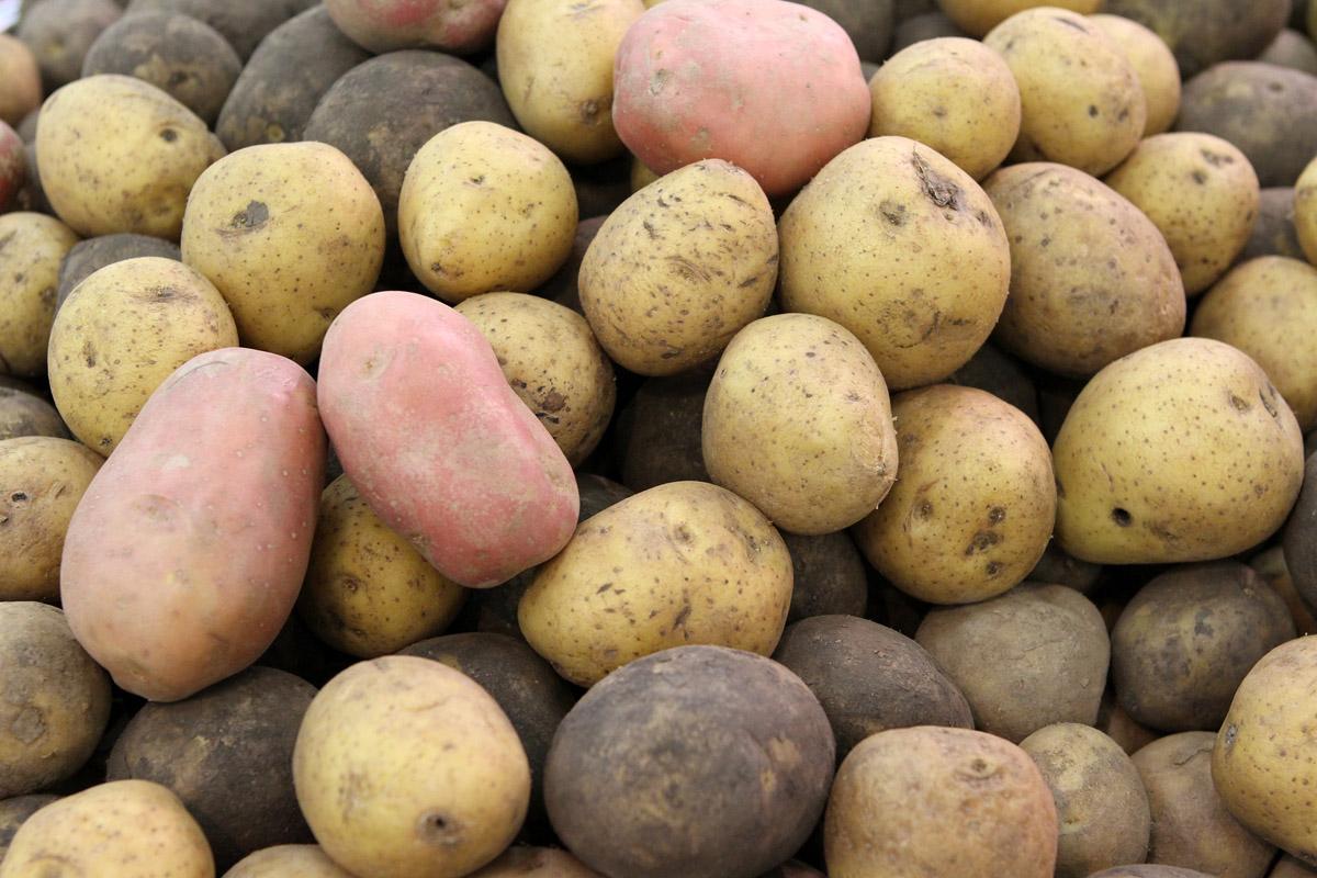 В Екатеринбурге слепят 17-килограммовую картошку