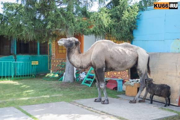 На Урал приехал скандальный зоопарк, где животных морят голодом