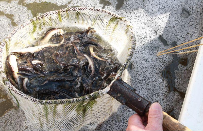 Очередная программа: производство рыбы в области увеличат в полтора раза