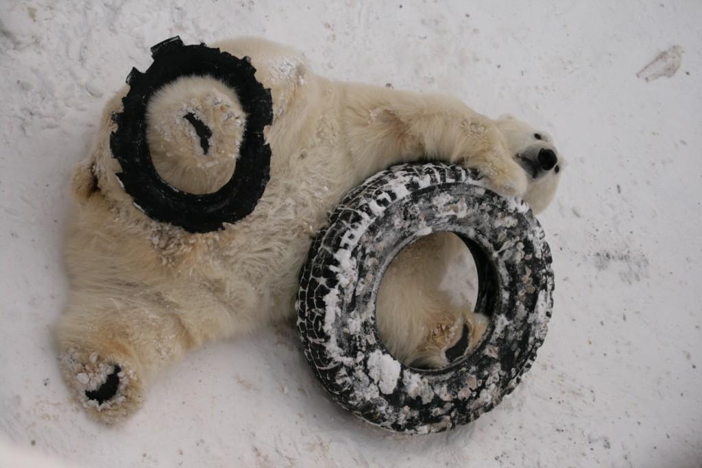 Зачетная книжка для Умки: белый медведь из зоопарка Екатеринбурга отпразднует день рождения