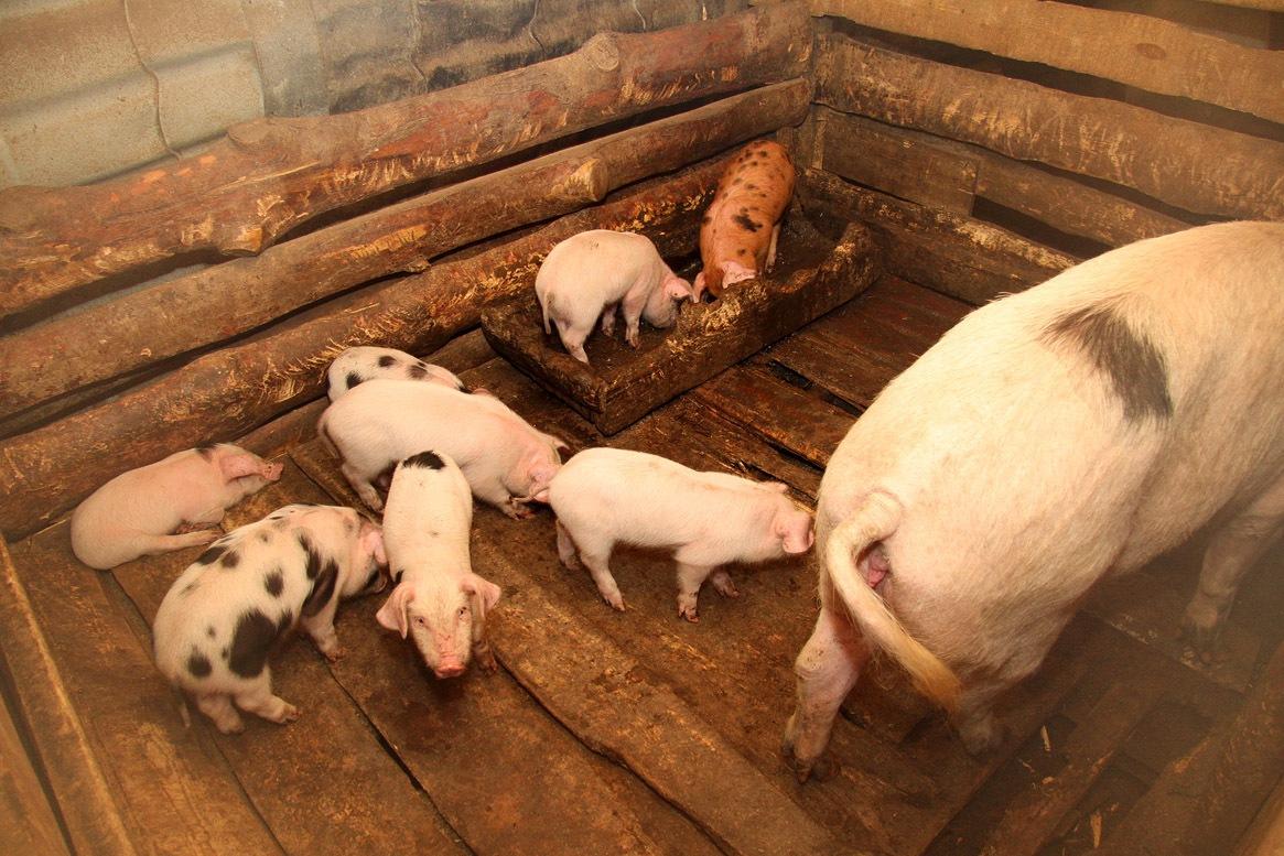 В Свердловской области откроют генетический центр для выведения свиней