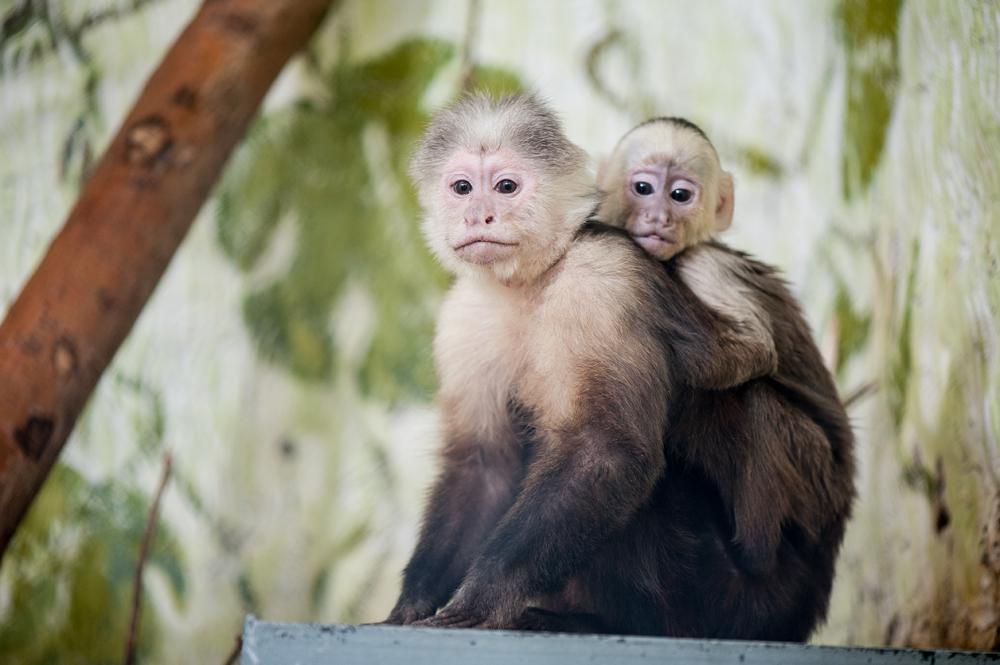 В Екатеринбургском зоопарке родился белоплечий капуцинчик
