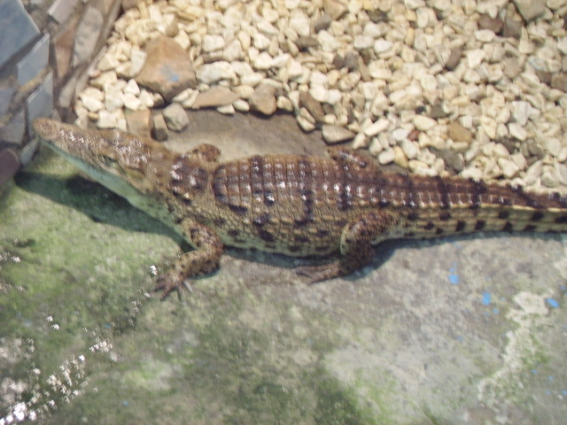 В колонии № 2 завелся новый крокодил