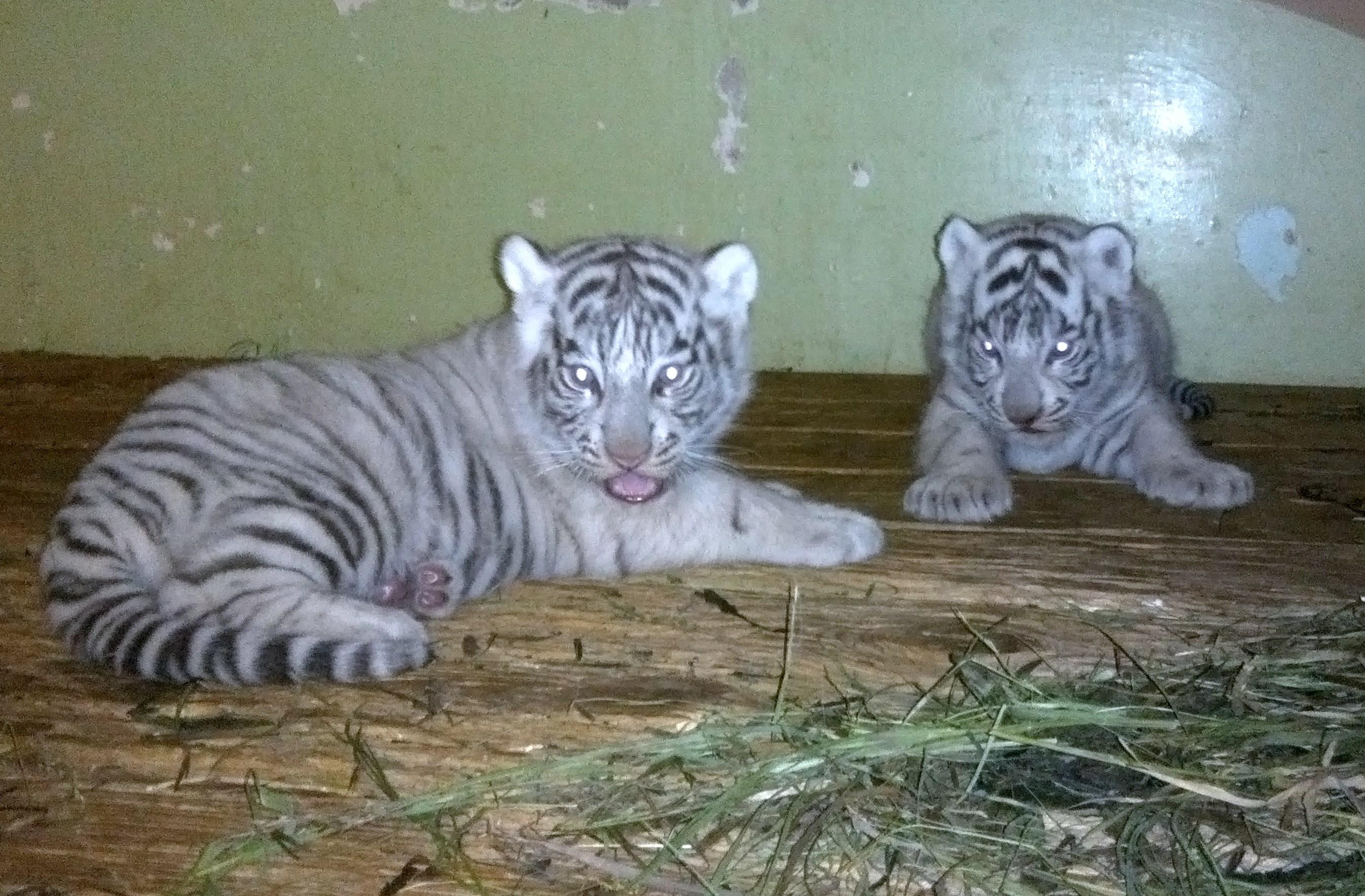 В Екатеринбургском зоопарке белая тигрица родила двух малышей