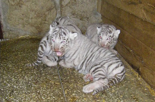 Белым тигрятам из екатеринбургского зоопарка выбрали имена