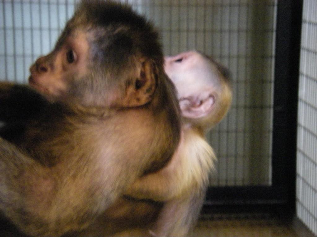 В екатеринбургском зоопарке родился капуцин-плакса
