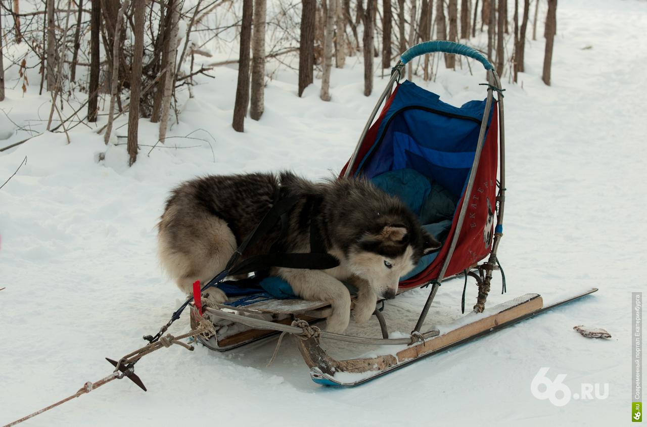 Шлейка Ездовая своими руками Dogs Еxclusive ВКонтакте 57