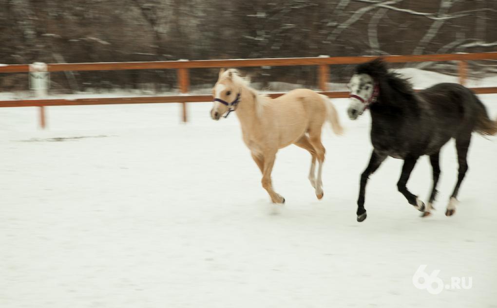 На Урал привезли уэльских пони. Первые два — в Екатеринбурге