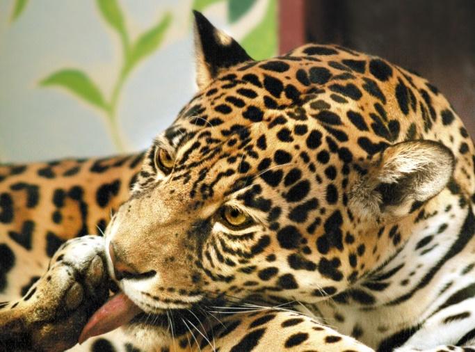 Жители Екатеринбурга выберут новое имя для подружки ягуара Аргона