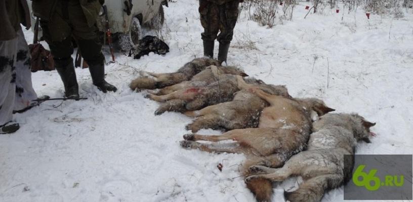 Из-за теплого лета и снежной зимы в лесах под Екатеринбургом расплодились волки