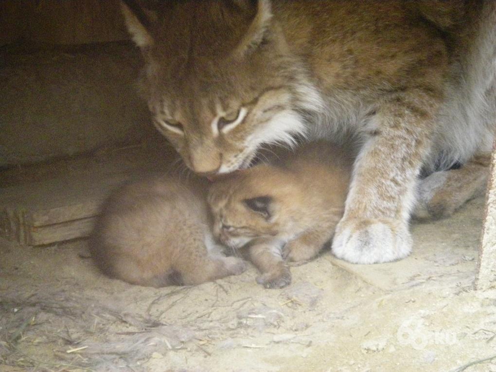 В Екатеринбургском зоопарке родились пумята и рысята