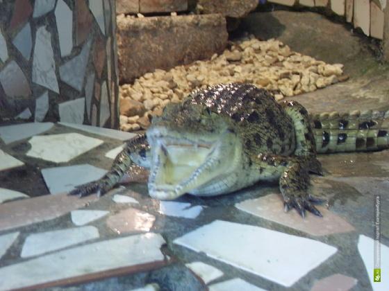 Крокодилу из свердловской колонии придумали имя