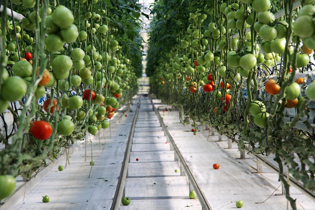 Дом Синьора Помидора: как на Урале растут инновационные томаты
